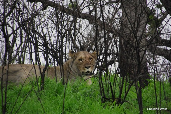 Lioness at Hluhluwe Imfolozi Game Reserve