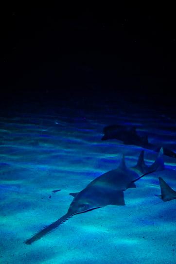 Green Sawfish at the Shark Reef Aquarium at Mandalay Bay Las Vegas NV