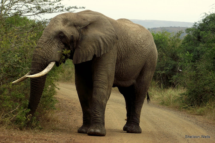 Bull Elephant in the road at Hluhluwe Imfolozi Game Reserve