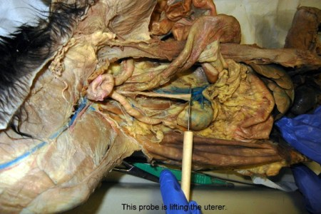 large intestine cat dissection » Full HD Pictures [4K Ultra] | Full ...