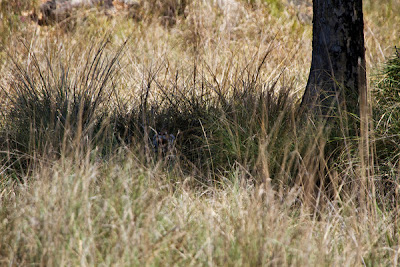 Kanha National Park: Female Royal Bengal tiger hiding in tall grass by Jonas Tonboe Christiansen.