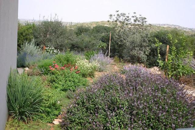 קלנדריניה גדולת פרחים וברקע ורבנה דה לה מינה
