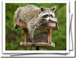 RaccoonBirdFeeder