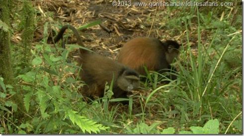 Golden Monkey Tracking Volcanoes National Park Rwanda