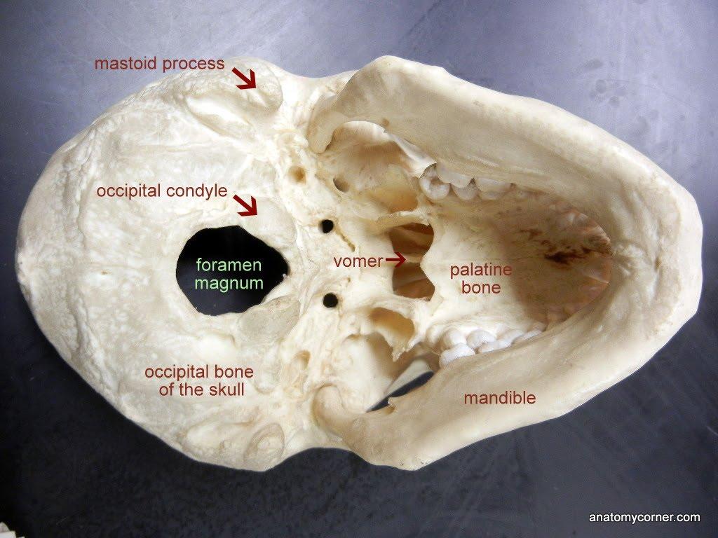 Skull Foramen Magnum Labeled