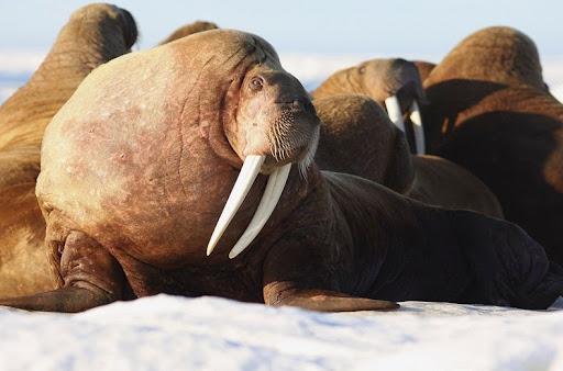 walrus-terra-alaska-5