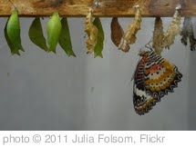 'Butterfly and Chrysalises' photo (c) 2011, Julia Folsom - license: http://creativecommons.org/licenses/by-sa/2.0/