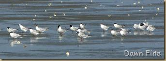 Birding south beach_017