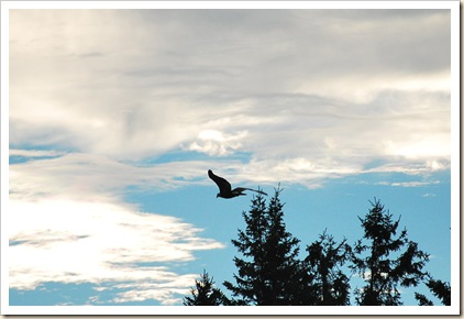 eagle fly sky
