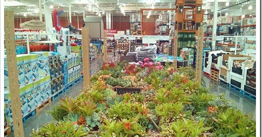 Succulents And More Succulent Gardens At Costco
