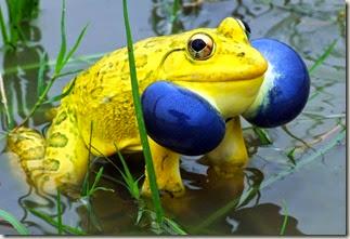 z indian bullfrog