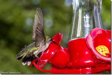 Female Ruby-throated Hummingbird, Dunnhill