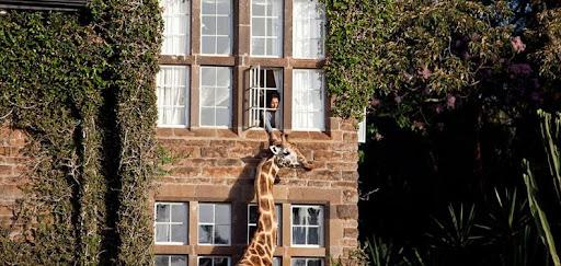 giraffa-manor-6