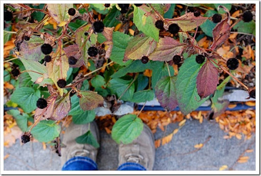 fall blackeyed susans