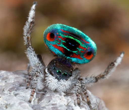 peacock-spider-5