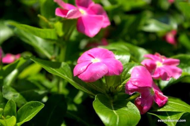 bunga tapak ara cantik dan berkhasiat sebagai obat antikanker