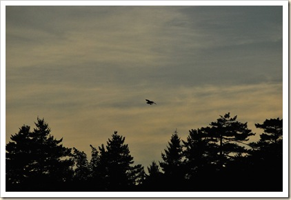 osprey with catch sunset