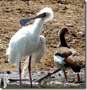 agnificent chap with his odd beak is an African Spoon bill and he is with an Egyptian goose (taking a break from Tahir square)