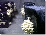 La cave champignonnière