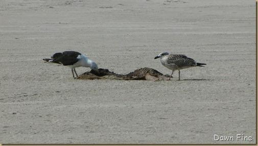 Birding south beach_057