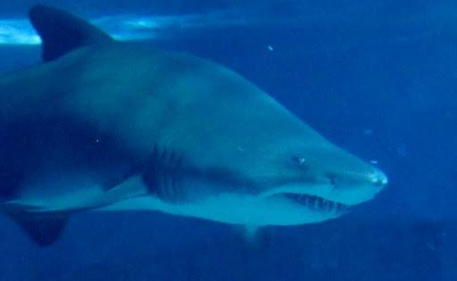 Shark from London aquarium