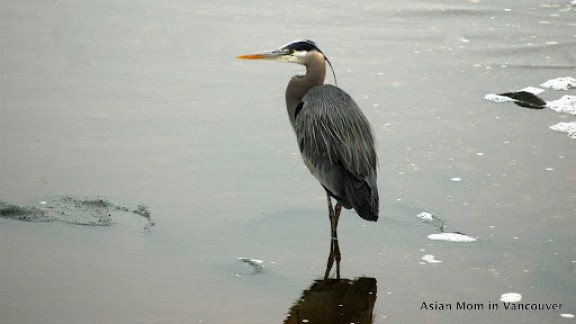 Great Blue Heron 大藍鷺