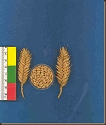 dwarf_wheat