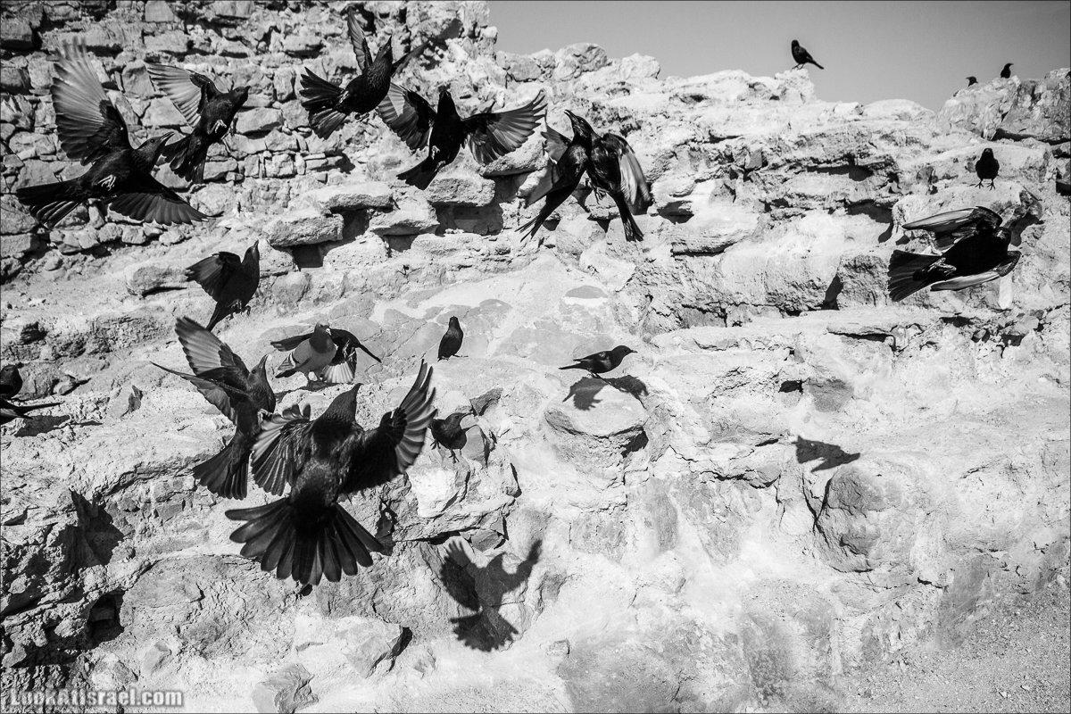 LookAtIsrael.com - Танцующие птицы в крепости Массада   Dancing birds in Massada