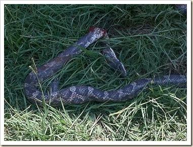snake pics iphone 004_thumb