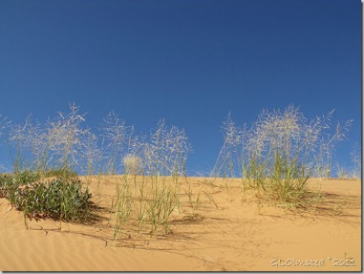 08 Dune sunflowers & grasses Coral Pink Sand Dunes SP UT (1024x768)