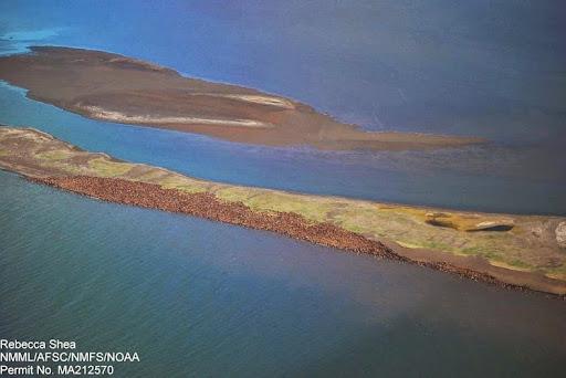 walrus-terra-alaska-1