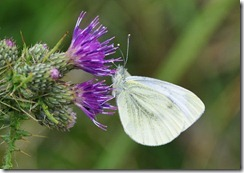 Green-veined white (I think)