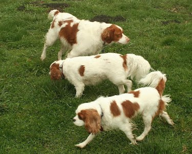 Brittany Spaniel Wallpapers screenshot 4