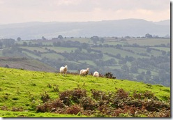 Clee Hill sheep 2