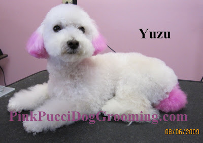 Yuzu Toy Poodle with Pink Hair Coloring – Pink Pucci