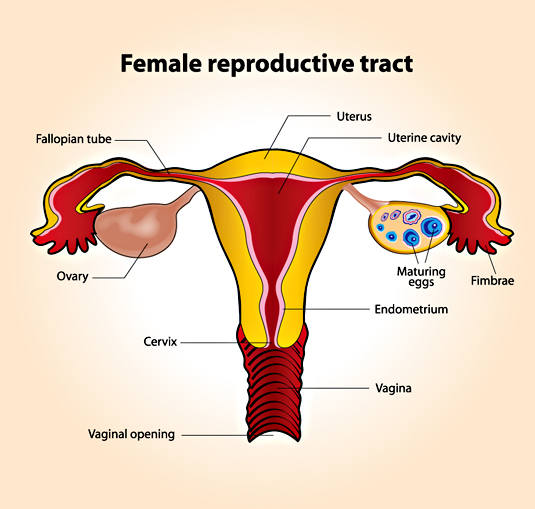 The Female Reproductive Sysytem