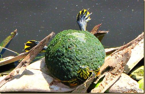 Turtle (6)