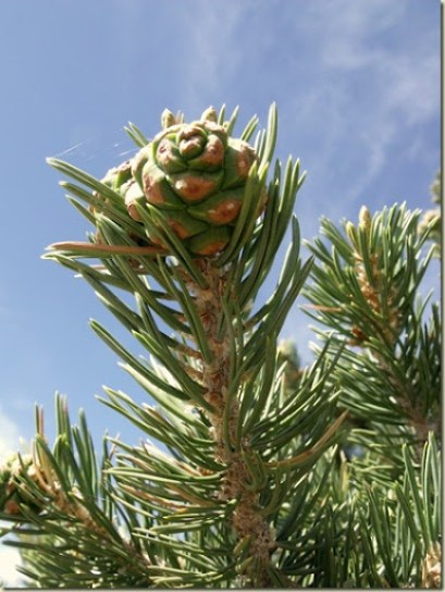 Pinyon Pine cone against sky Hwy 67 Kaibab National Forest Arizona