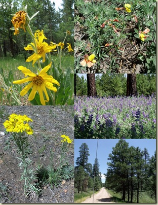 Wildflowers along Forest Road 425 Kaibab National Forest Arizona