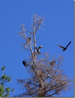 01 Four Turkey Vultures in tree top & one flying away Hwy 67 N Kaibab NF AZ (782x1024)