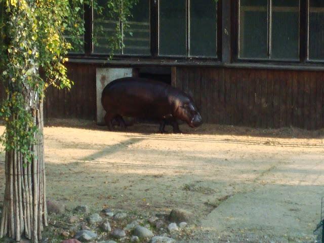 Hipopotam karłowaty - Zoo Oliwa