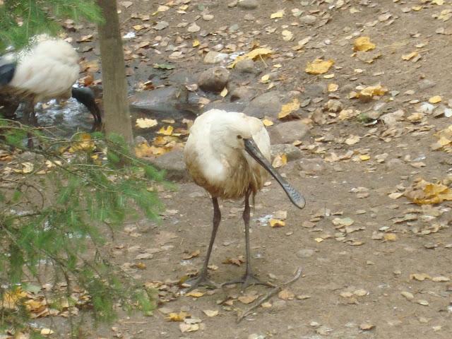 Warzęcha, a z lewej... ibis czczony!