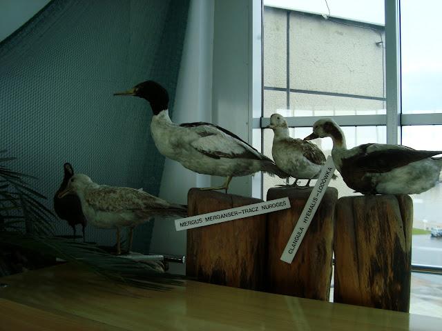 Nadbałtyckie ptaki - eksponaty z Sali Bałtyckiej