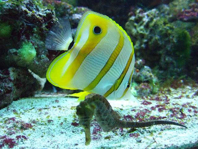 Pensetnik pomarańczowopręgi i pławikonik żółty