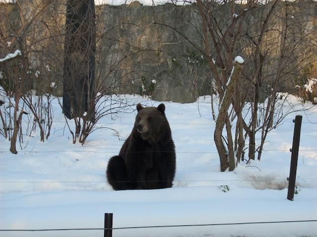 Niedźwiedzica bruntna Myszka
