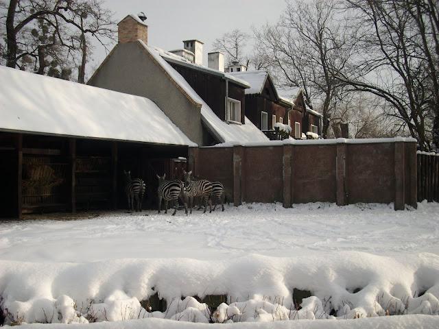 Zebry śnieżne