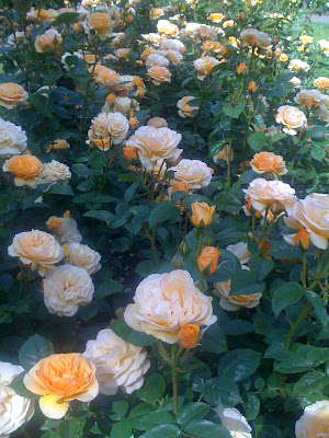 Creamsicle Roses. By Meghan Oona Clifford | www.RealeyesGallery.com