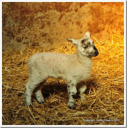 Sheep 340