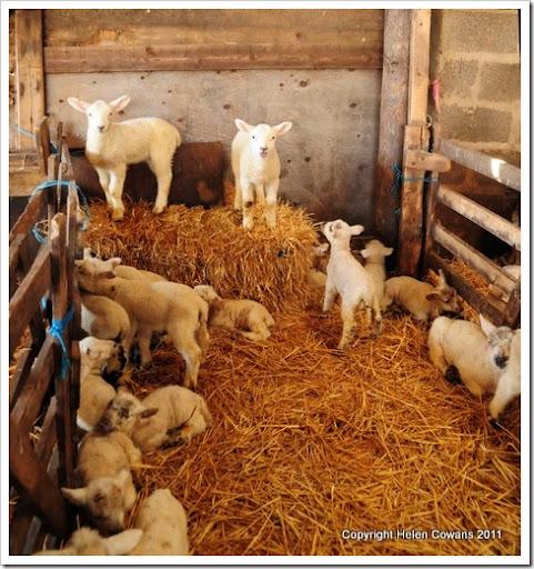 Sheep 378