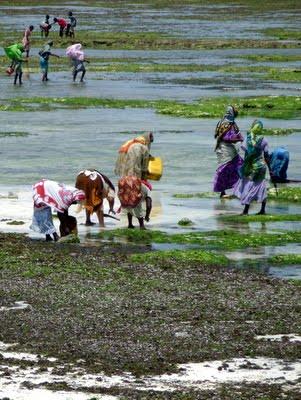 Raccoglitrici di alghe